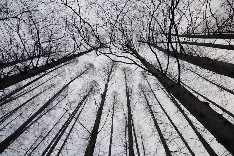 Siluetta dei rami degli alberi immagine stock