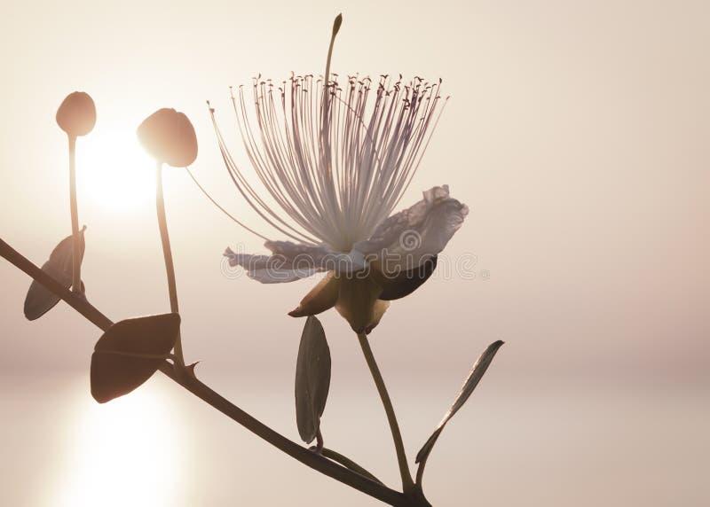 Siluetta dei rami del Capparis su fondo del cielo di mattina con il sol levante Fiore dei capperi al sole fotografia stock