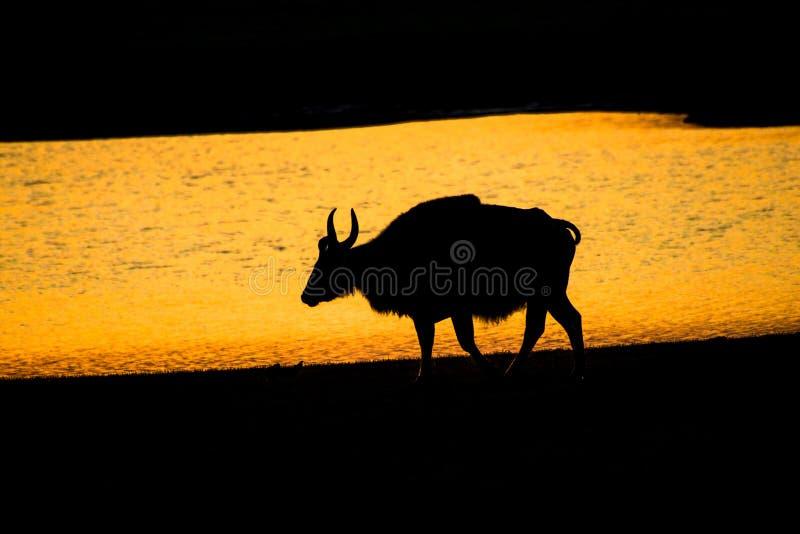 Siluetta del bisonte, tramonto con il bisonte indiano, gaur fotografie stock libere da diritti