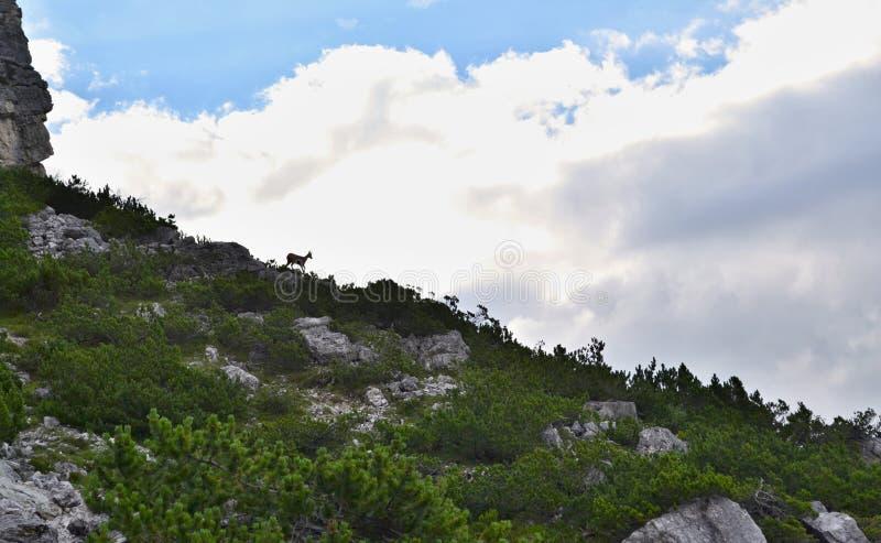 Siluetta del camoscio sull'orizzonte con nuvole bianco-grige nei precedenti e piante conifere verdi nella priorità alta immagine stock