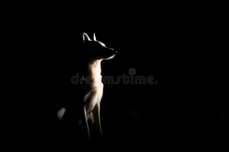 Siluetta del cane alla notte immagini stock