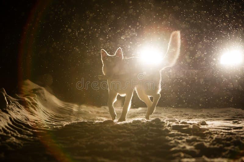 Siluetta del cane nei fari fotografie stock libere da diritti