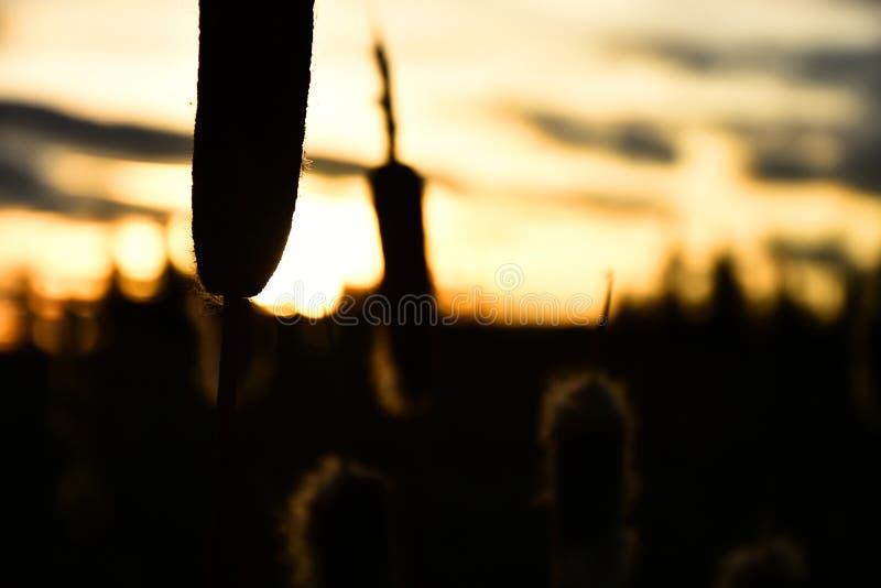 Siluetta del Cattail fotografia stock