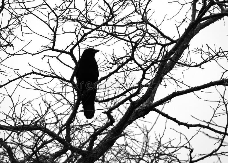 Siluetta del corvo immagini stock