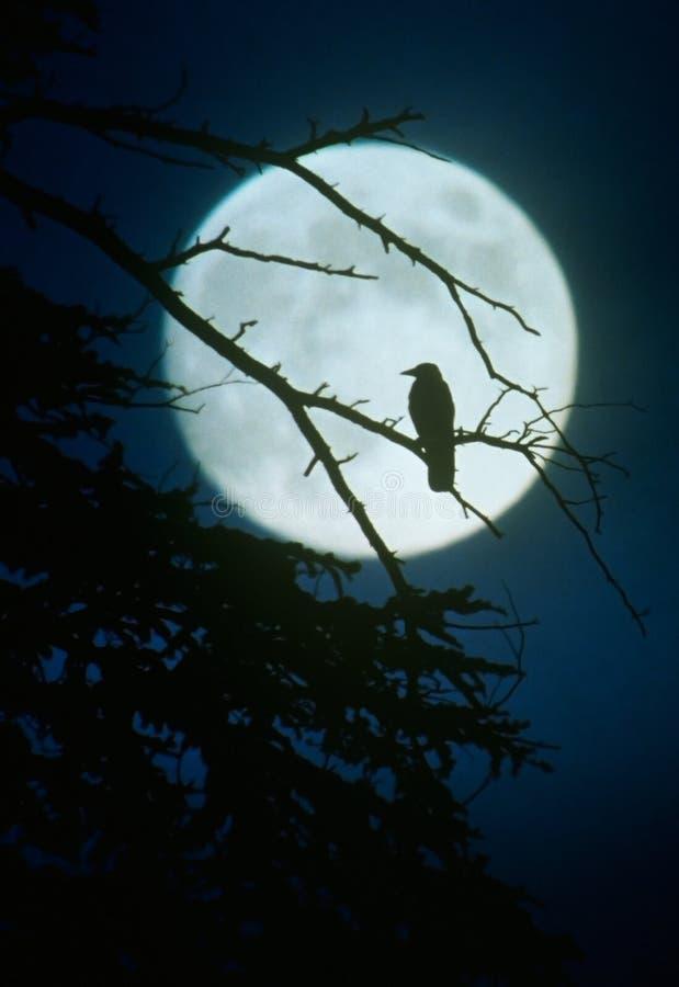 Siluetta del corvo da luce della luna fotografie stock libere da diritti