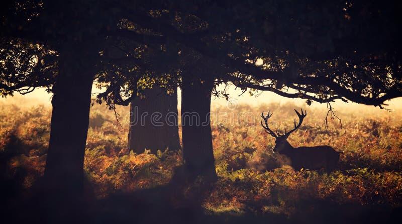 Siluetta del maschio dei cervi nobili fotografie stock libere da diritti