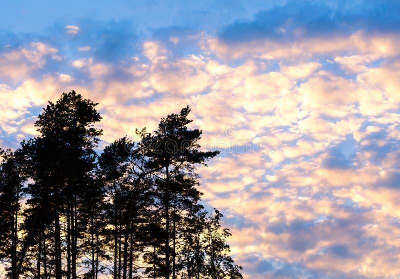 Siluetta del pino contro il cielo nuvoloso di tramonto fotografia stock libera da diritti