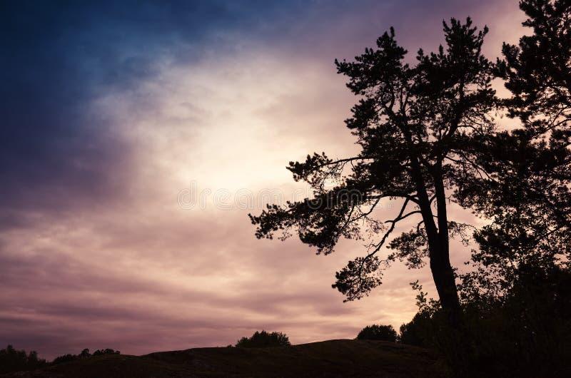 Siluetta del pino nelle parti anteriori di notte immagine stock