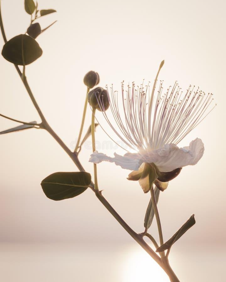 Siluetta del ramo del Capparis su fondo del cielo di mattina con il sol levante I capperi fioriscono al sole fotografia stock libera da diritti
