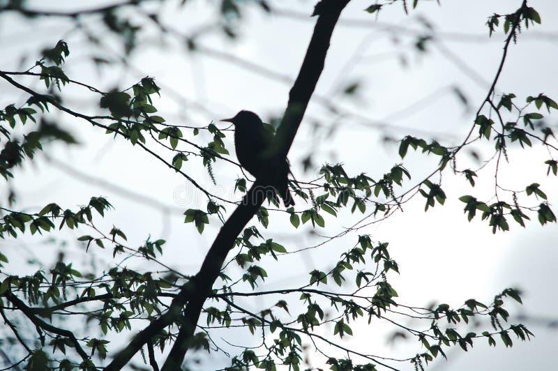 Siluetta del ` s dell'uccello sull'albero immagine stock libera da diritti