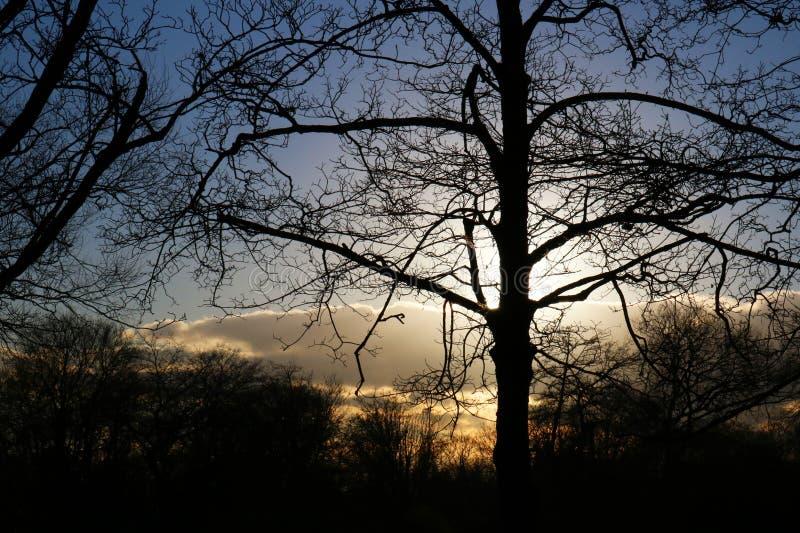 Siluetta dell'albero al tramonto immagine stock libera da diritti
