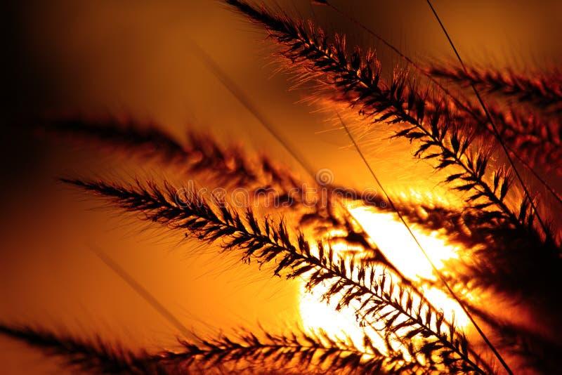 Siluetta dell'erba contro il tramonto immagini stock