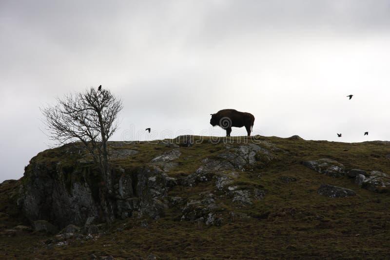 Siluetta della Buffalo fotografia stock libera da diritti