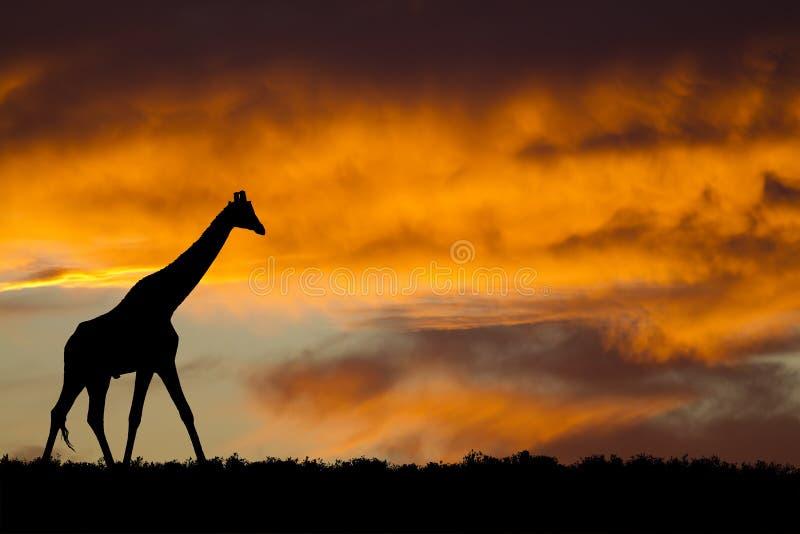 Siluetta della giraffa immagini stock
