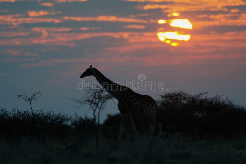 Siluetta della giraffa ad alba immagini stock libere da diritti