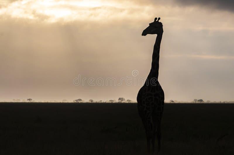 Siluetta della giraffa all'alba fotografia stock