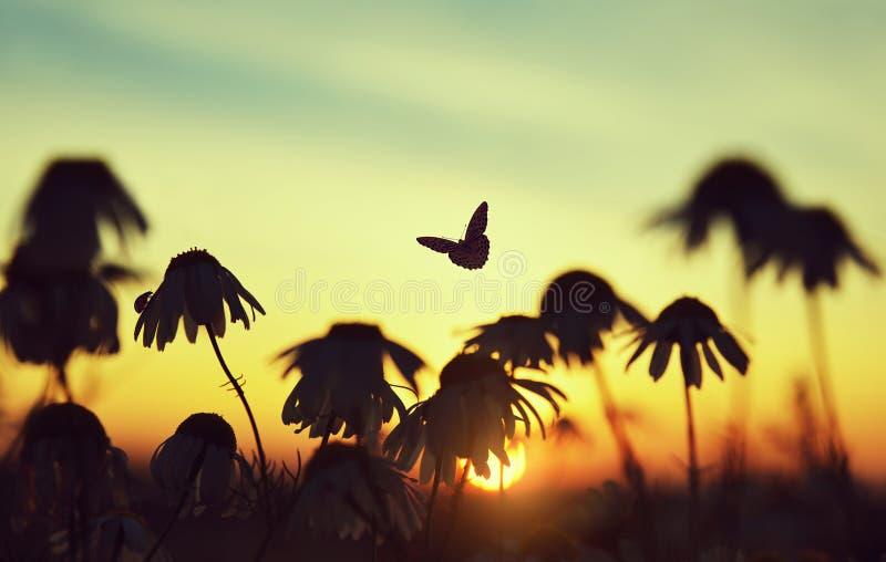 Siluetta delle margherite di pratolina con la farfalla e la coccinella sul prato al tramonto fotografia stock libera da diritti