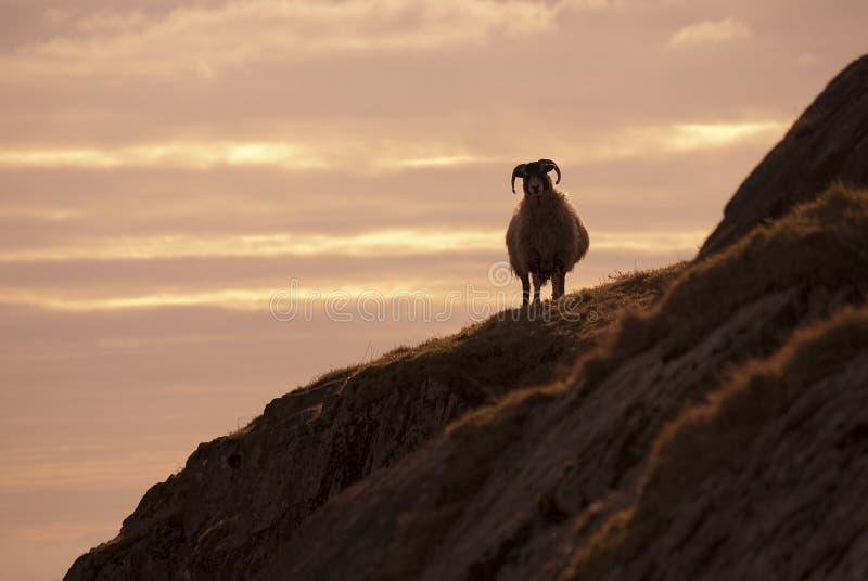 Siluetta delle pecore fotografie stock libere da diritti