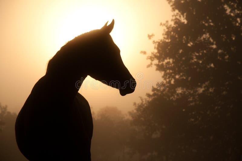 Siluetta di bello cavallo arabo fotografia stock libera da diritti