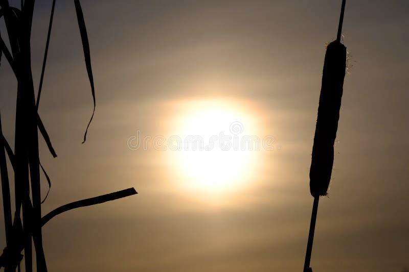Siluetta di cattail nell'inverno contro il contesto del tramonto, il tramonto nell'inverno immagini stock libere da diritti