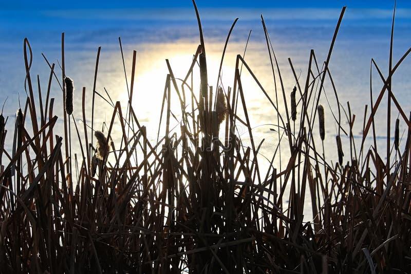 Siluetta di cattail nell'inverno contro una riflessione su acqua congelata immagine stock