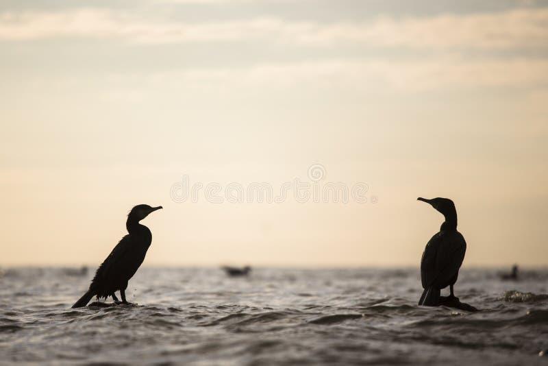 Siluetta di Cormorant fotografia stock