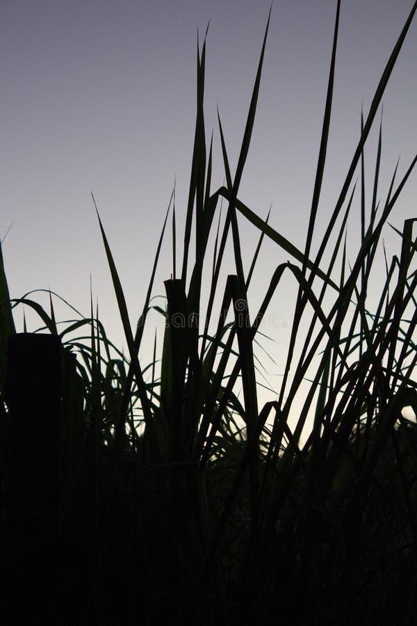 Siluetta di fotografia del campo di mais nell'ora di alba immagini stock