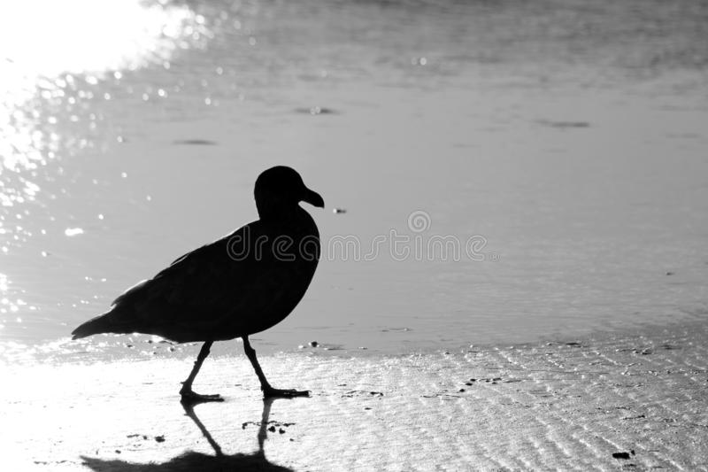 Siluetta di gabbiano marino in bianco e nero; Seaside Beach, Seaside, Oregon fotografie stock