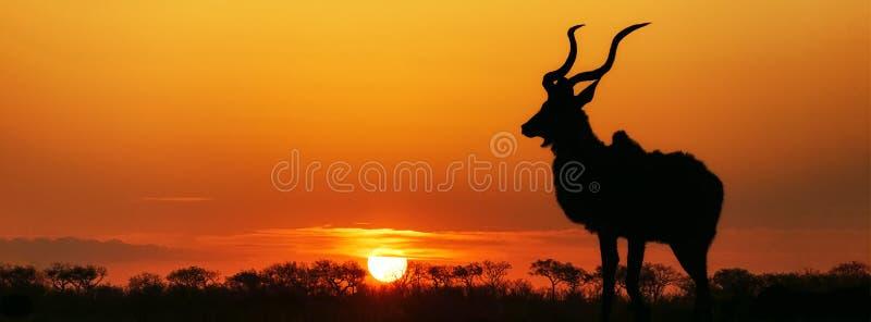 Siluetta di Kudu di tramonto del Sudafrica fotografia stock libera da diritti