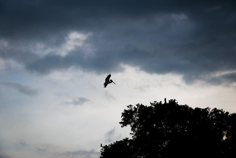 Siluetta di un atterraggio marrone del pellicano su un albero - Panamá, Panama fotografie stock