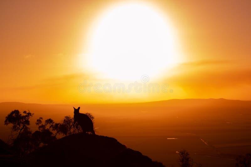 siluetta di un canguro su una roccia con un bello tramonto nei precedenti L'animale sta guardando verso la macchina fotografica I immagine stock libera da diritti