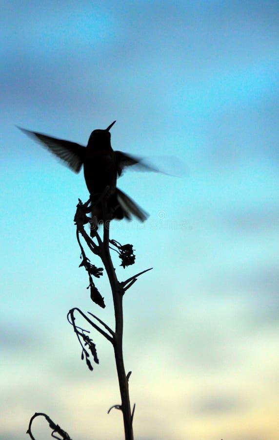 Siluetta di un colibrì che prende volo all'alba fotografie stock libere da diritti