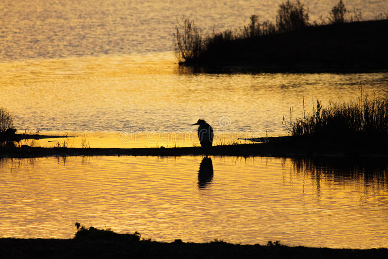 Siluetta di un Grey o di Gray Heron Ardea cinerea al tramonto fotografia stock libera da diritti