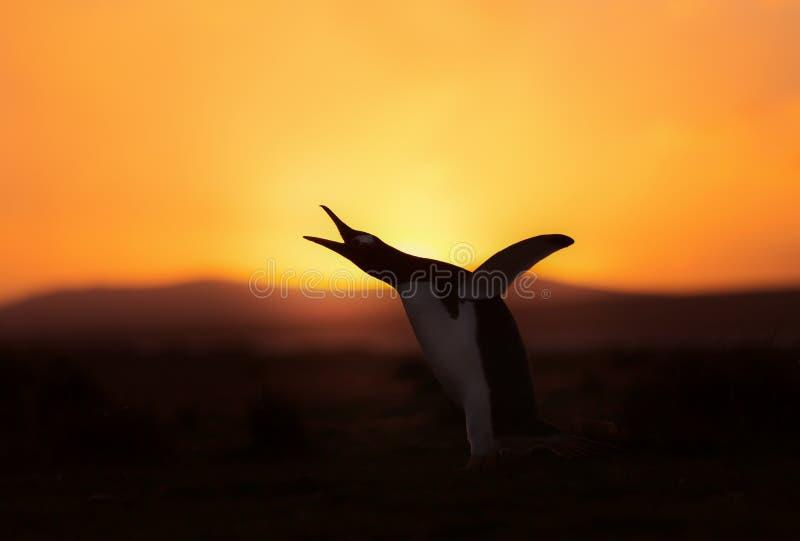Siluetta di un pinguino di Gentoo al tramonto fotografia stock