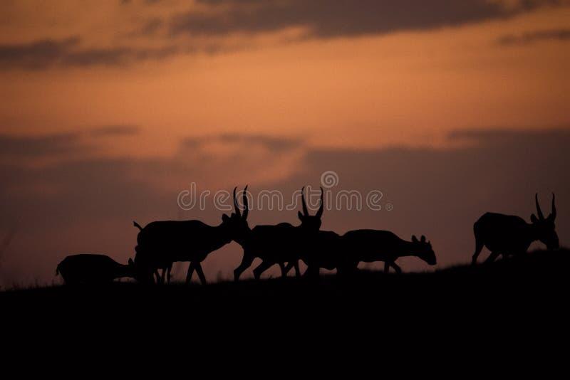 Siluetta di un saiga al tramonto Il tatarica di Saiga è in rosso libro elencato fotografia stock libera da diritti