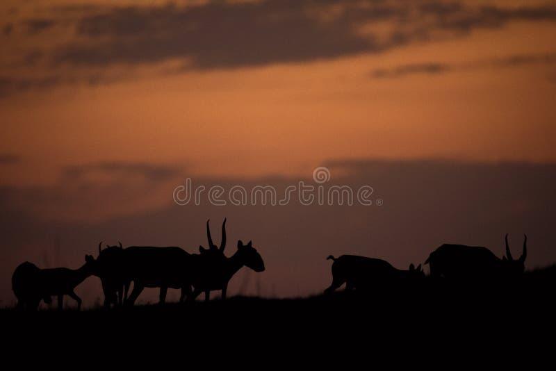 Siluetta di un saiga al tramonto Il tatarica di Saiga è in rosso libro elencato immagini stock