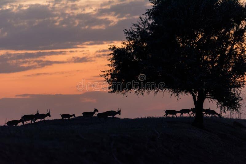 Siluetta di un saiga al tramonto Il tatarica di Saiga ? in rosso libro elencato fotografia stock