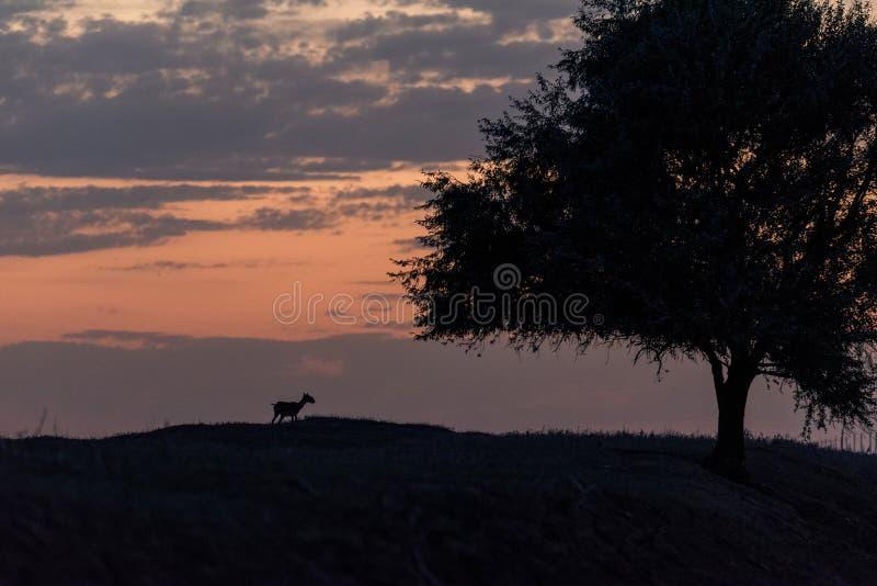 Siluetta di un saiga al tramonto Il tatarica di Saiga ? in rosso libro elencato fotografie stock libere da diritti