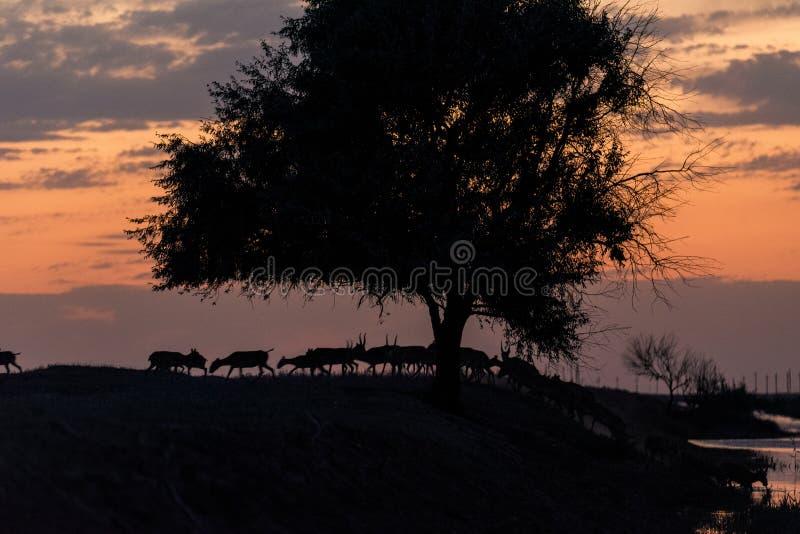 Siluetta di un saiga al tramonto Il tatarica di Saiga ? in rosso libro elencato immagini stock libere da diritti