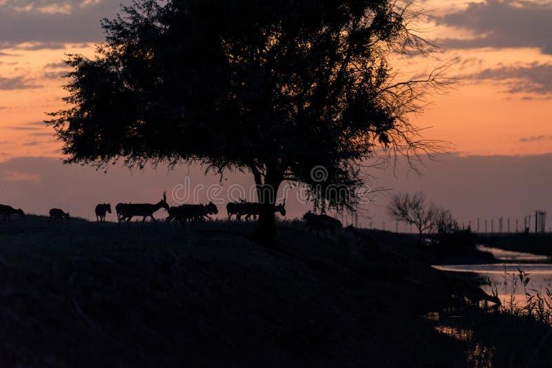 Siluetta di un saiga al tramonto Il tatarica di Saiga ? in rosso libro elencato fotografia stock libera da diritti