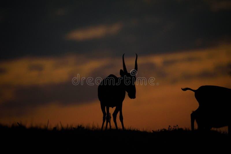 Siluetta di un saiga al tramonto Il tatarica di Saiga ? in rosso libro elencato immagine stock libera da diritti
