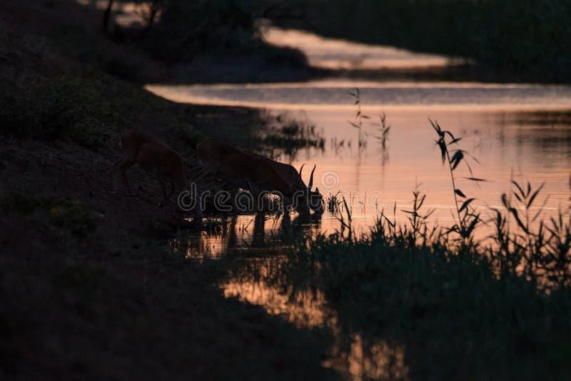 Siluetta di un saiga al tramonto Il tatarica di Saiga ? in rosso libro elencato immagine stock