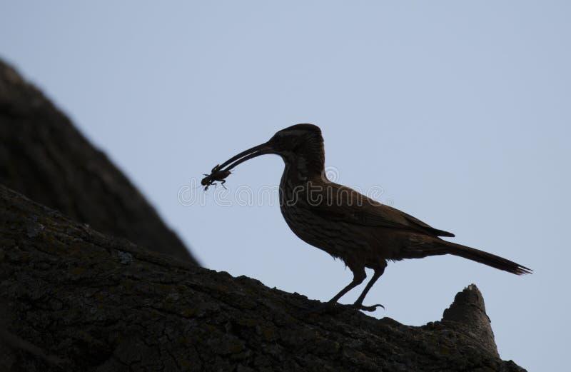 Siluetta di un uccello che sta su un tronco di albero con un insetto in suo becco fotografia stock libera da diritti