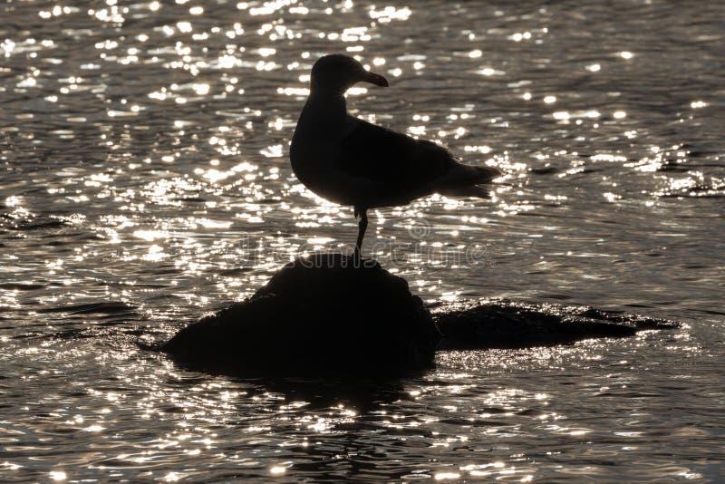 Siluetta di un uccello di gabbiano del Pacifico in piedi su una pietra circondata da bagliore e riflesso delle onde d'acqua dell' fotografia stock