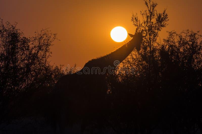 Siluetta di una giraffa di pascolo contro il sol levante fotografia stock