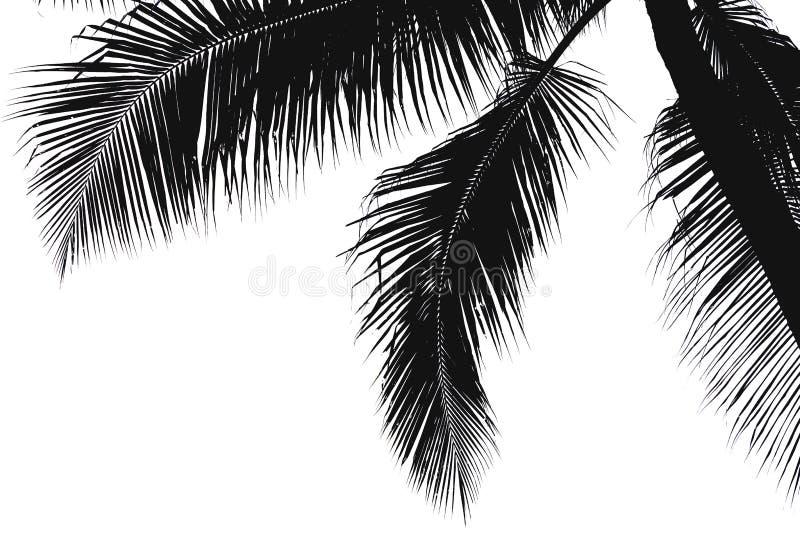 Siluetta nera delle foglie della noce di cocco fotografia stock