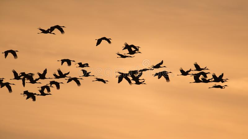 Siluetta retroilluminata delle gru di Sandhill in volo con al crepuscolo giallo ed arancio dorato/tramonto del cielo durante la m immagini stock libere da diritti