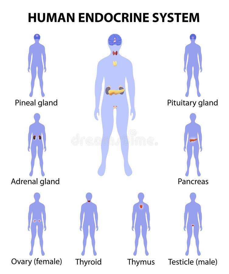 Siluetta umana con le ghiandole endocrine Icone impostate illustrazione di stock