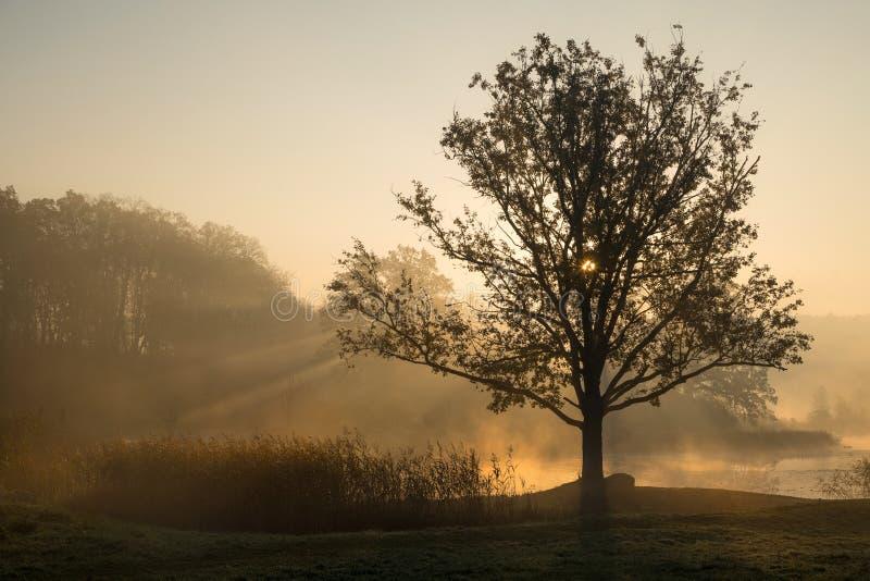 Siluette degli alberi su una mattina nebbiosa nebbiosa con il comi dei raggi del sole immagine stock libera da diritti