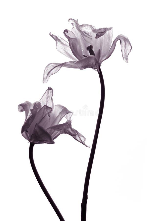 Siluette del tulipano su bianco fotografia stock